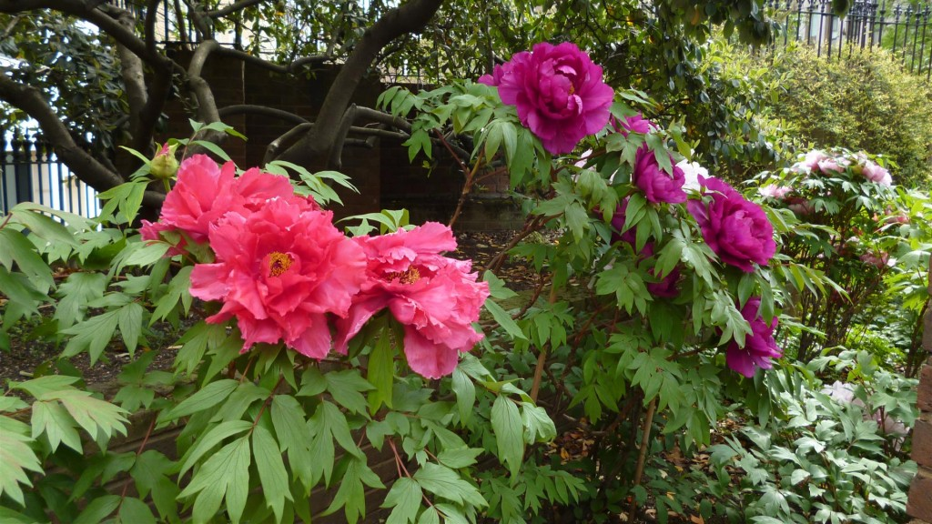Tree Peony in Cleary Gardens